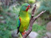 foto of king parrot  - swift parrot - JPG