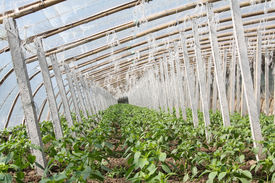 image of stent  - Vegetable greenhouses internal view in north china - JPG