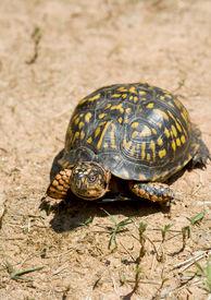 foto of the hare tortoise  - Box turtle walking on dry and arid ground - JPG