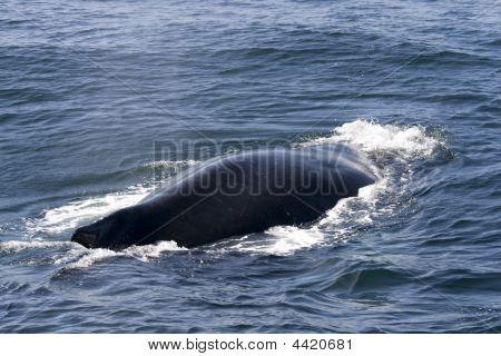 Humpack Whale In Ocean