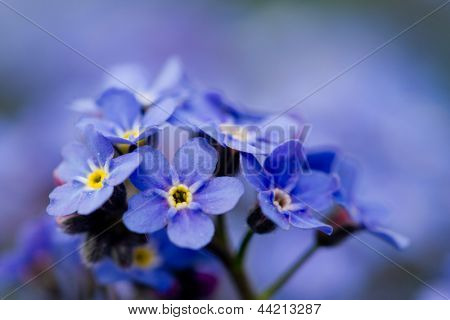 Forget me not flowers - spring garden