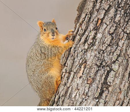 Fox esquilo