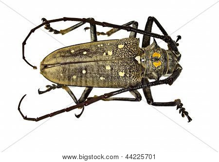 The Weaver Beetle (lamia Textor) Isolated On A White Background
