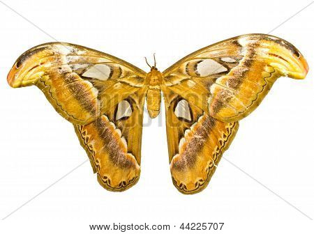 Atlas Moth (attacus Atlas) Isolated On White Background