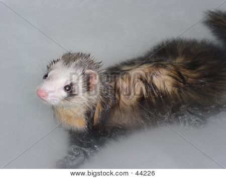 Ferret In Bath