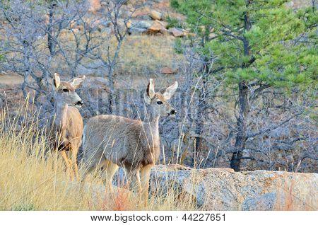 Mule Deer Doe With Yearling
