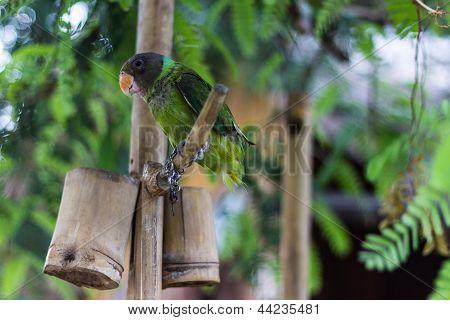 Grünen Papagei