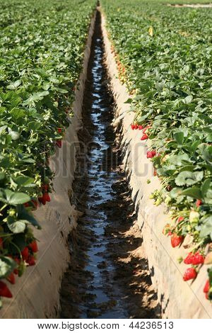 Fresh Strawberry Fields AKA Fragaria Ã??Ã?? ananassa or Garden Berry growing in rows in a Strawberry Field in Southern California
