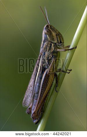 Grasshopper Chorthippus Brunneus