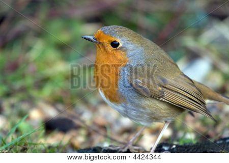 Close Up Robin