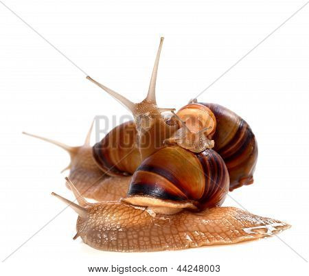 Family Of Snails On Top Of One Another