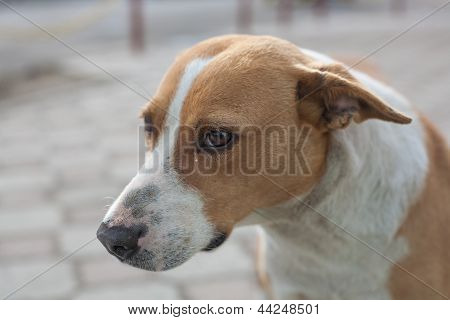 Pariah-dog ??is Sad