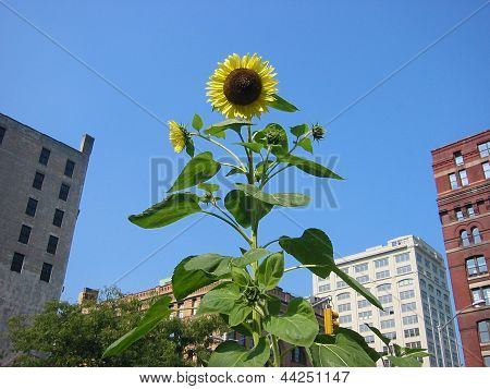 City sunflower