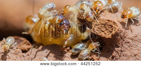 termite and queen termite  in hole.