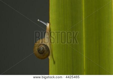 Snail Climbing Leaf