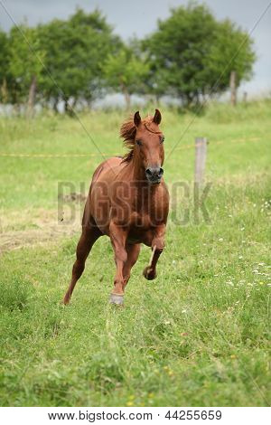 Nice Quarter Horse Stallion Running On Pasturage
