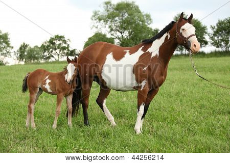 Nice Paint Horse Mare With Filly