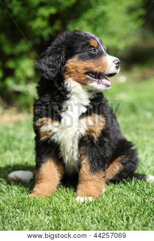 Bernese Mountain Dog Puppy Sitting On The Grass