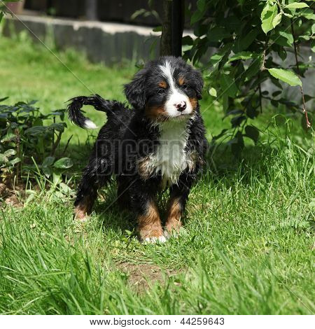 Bernese Mountain Dog Puppy In The Garden
