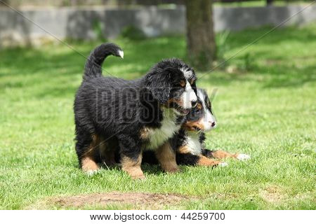 Two Bernese Mountain Dog Puppies In The Garden