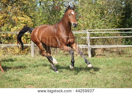 Warmblood Horse Running On Pasturage