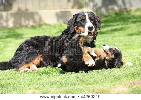 Bernese Mountain Dog Bitch Playing With Puppy