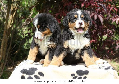 Two Bernese Mountain Dog Puppies Sitting On Blanket
