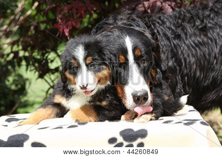 Bernese Mountain Dog Bitch Licking Puppy