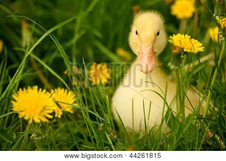 Small yellow duckling outdoor on green grass