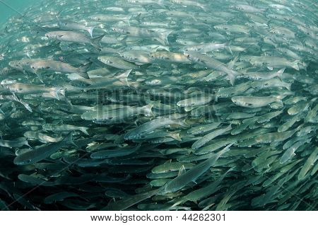 Mullet Fish Swimming In Ocean
