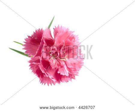 Valentine  Flower Background Pink Carnation