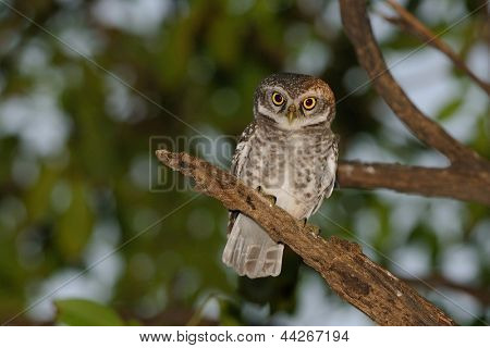 a spotted owlet looking at the camera