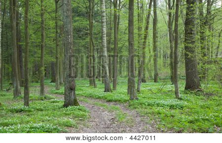 Narrow Path Through Spring Forest With Wood Anemone