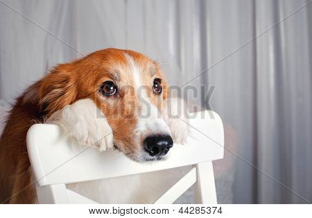 Border Collie Dog Portrait In Studio