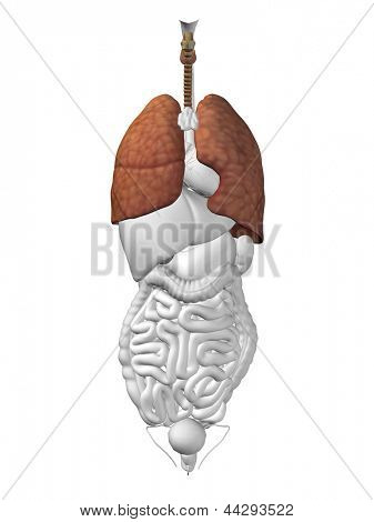 Concept conceptual 3D human or man anatomy lung organ and respiratory system  illustration isolated on white background