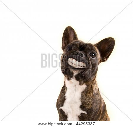 a french bulldog with a huge smile isolated on a white background