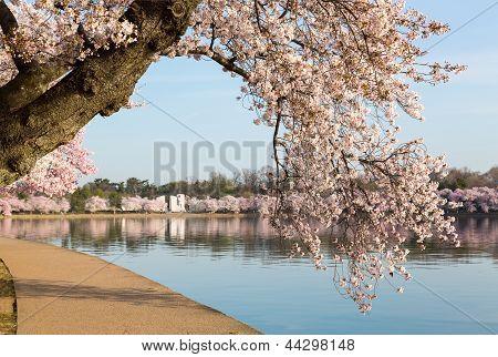 Detail Of Japanese Cherry Blossom Flowers