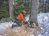 image of man chainsaw  - Tree cutting by a lumberjack in winter with a chainsaw - JPG