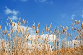 image of bulrushes  - Bulrush against the white clouds beautiful yellow reed - JPG