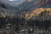 pic of mountain-ash  - Black ashes of canary pine after forest fire at Teide National park in summer 2012 - JPG