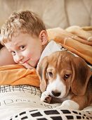 stock photo of puppy beagle  - Beagle puppy lying in bed with happy little boy - JPG