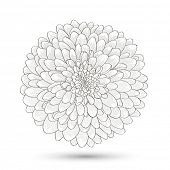 picture of chrysanthemum  - Hand - JPG