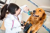 stock photo of vet  - Vet grooming a beautiful dog at the spa - JPG