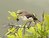 stock photo of mockingbird  - Mockingbird Screeching Loudly on top of a Tree