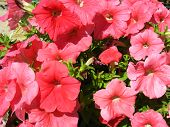 stock photo of ipomoea  - beautiful flowers of red ipomoea is very motley - JPG