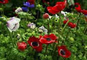 stock photo of windflowers  - Multicolour perennial spring flowering anemone plants close - JPG