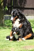 stock photo of bitch  - Bernese Mountain Dog bitch playing with puppy in the garden - JPG
