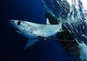 stock photo of bigeye  - Bigeye Thresher shark swimming in the Gulfstream in the Atlantic Ocean off of South Florida - JPG