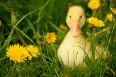 pic of fuzz  - Small yellow duckling outdoor on green grass - JPG