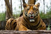 picture of bengal cat  - Bengal tiger in  the mood to relax and hang out - JPG